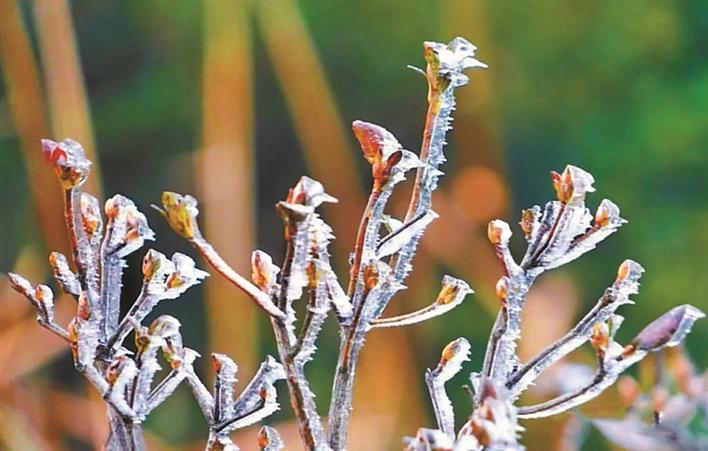深圳寒冷持续升级 梧桐山霜冻现冰挂美景