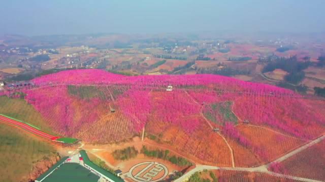 粉色的美丽画卷 村民花16年把荒山变花谷