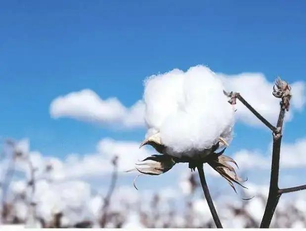 产量520万吨 新疆棉花中国自己还不够用