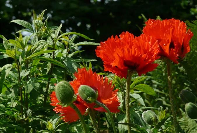 农家乐老板种1438株罂粟 罂粟是什么?是毒品吗?